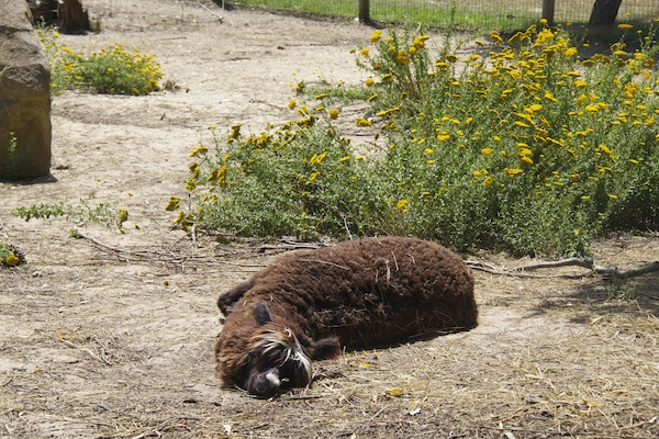 alpaca parque dos monges